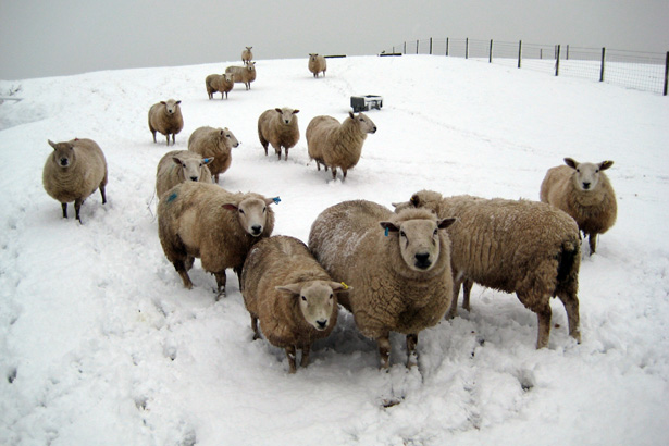 Sheep in Winter at Haye Pastures Farm